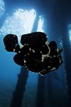 "قصة ""بحر خجول "" Antennarius_commersoni__giant_frogfish__sm.jpg"