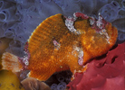 """قصة """"بحر خجول """" Echinophryne_99SA3_sm.jpg"""