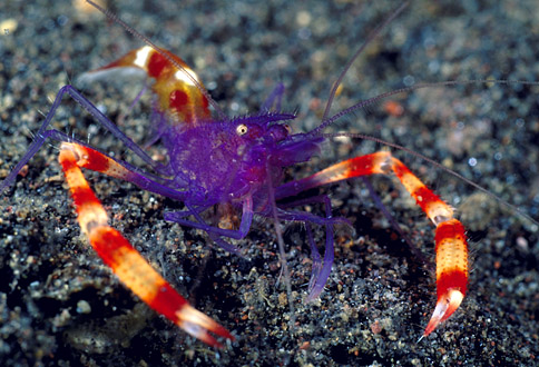 The Banded Coral Shrimp, Stenopus tenuirostris , acts as a ...