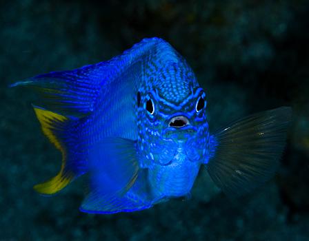 صور اخطر الاسماك 2013 ، صور ومعلومات عن الاسماك الخطيرة 2013 ، صور اسماك غريبه 2013 blue_damselfish_06a.jpg