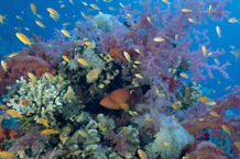 "قصة ""بحر خجول "" coral_grouper__Red_Sea.jpg"