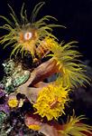 """قصة """"بحر خجول """" cup_corals_sm.jpg"""