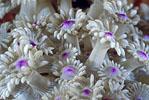 """قصة """"بحر خجول """" daisy_coral_polyps_sm.jpg"""