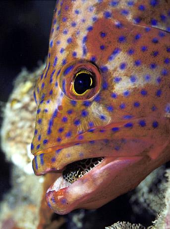 اسماك غريبه 2013 ، صور اسماك غريبة جدا 2013 ، اغرب سمك بالبحر 2013 grouper_w_blenny.jpg