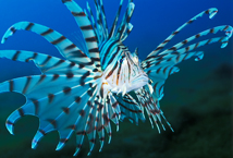 "قصة ""بحر خجول "" lionfish_99a.jpg"