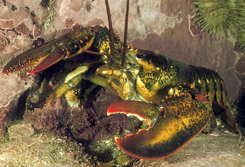 اسماك غريبه 2013 ، صور اسماك غريبة جدا 2013 ، اغرب سمك بالبحر 2013 lobster_w_starfish.jpg