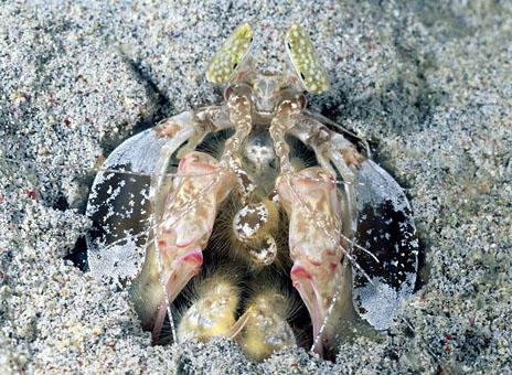 اسماك غريبه 2013 ، صور اسماك غريبة جدا 2013 ، اغرب سمك بالبحر 2013 lysiosquilla_mantis.jpg