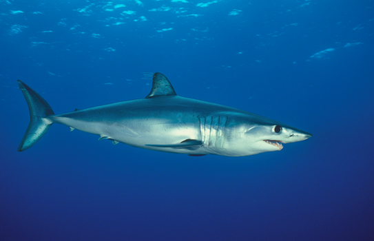 Shortfin mako shark isurus oxyrinchus san clemente for What is the fastest swimming fish