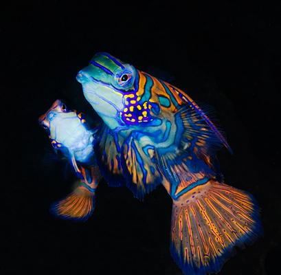 صور اخطر الاسماك 2013 ، صور ومعلومات عن الاسماك الخطيرة 2013 ، صور اسماك غريبه 2013 mating_mandarinfish_07L.jpg