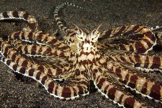 صور اخطر الاسماك 2013 ، صور ومعلومات عن الاسماك الخطيرة 2013 ، صور اسماك غريبه 2013 mimic_octopus_06g.jpg