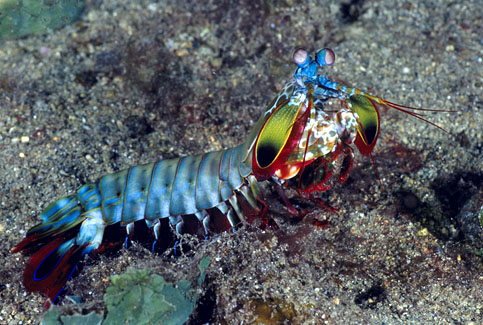 mantis shrimp essay