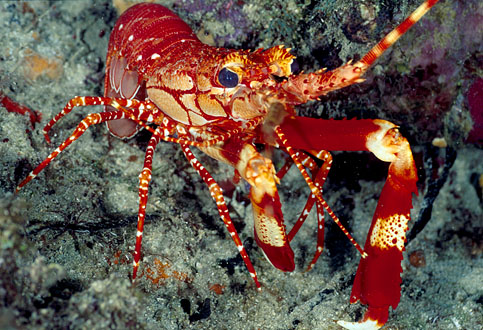 صور اخطر الاسماك 2013 ، صور ومعلومات عن الاسماك الخطيرة 2013 ، صور اسماك غريبه 2013 red_banded_lobster.jpg