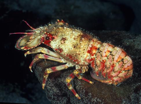 صور اخطر الاسماك 2013 ، صور ومعلومات عن الاسماك الخطيرة 2013 ، صور اسماك غريبه 2013 regal_slipper_lobster_06D1.jpg