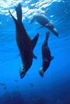 "قصة ""بحر خجول "" sea_lions_calif_sm.jpg"
