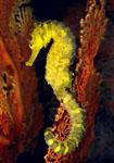 "قصة ""بحر خجول "" seahorse_thailand_sm.jpg"