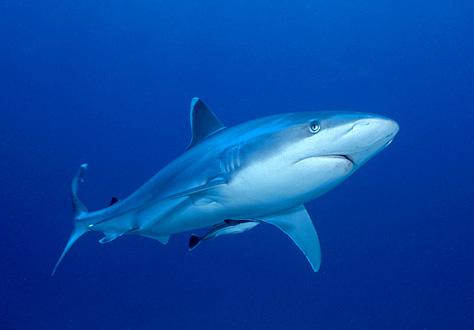 Zambezi Bull Shark Carcharhinus Leucas And Symbiotic Remora Natal Coast South Africa