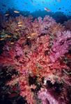 """قصة """"بحر خجول """" soft_corals_w_basslets_v_sm.jpg"""