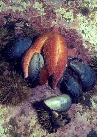 اسماك غريبه 2013 ، صور اسماك غريبة جدا 2013 ، اغرب سمك بالبحر 2013 star_w_mussels.jpg