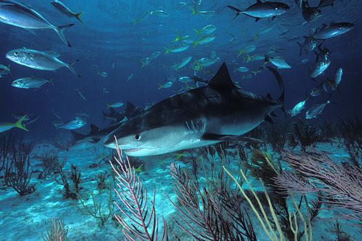 اسماك غريبه 2013 ، صور اسماك غريبة جدا 2013 ، اغرب سمك بالبحر 2013 tiger_shark_06e.jpg
